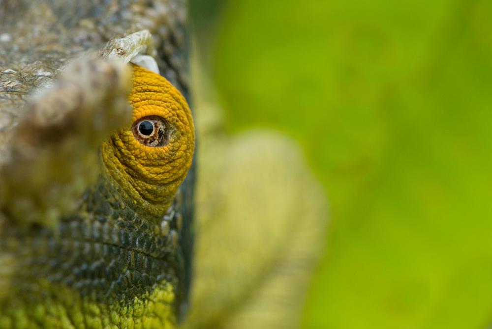 © naturepl.com  Edwin Giesbers  WWF