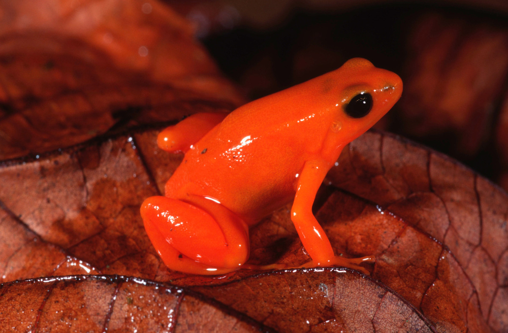 1 Golden mantella frog Mantella aurantiaca Bright colour warns of toxic secretions Madagascar Southeastern Madagascar © Martin Harvey  WWF -Small_WW187185