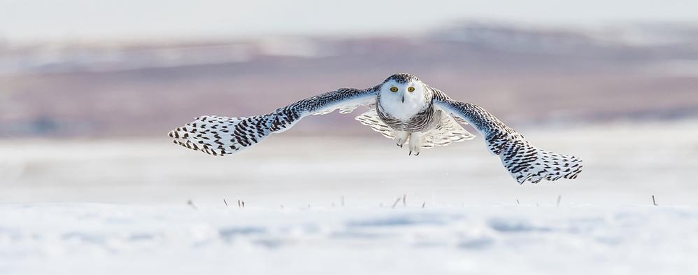 Snowy owl (Bubo scandiacus) flying, Southern Alberta, Canada © Michael Caroff Small_WW1113683