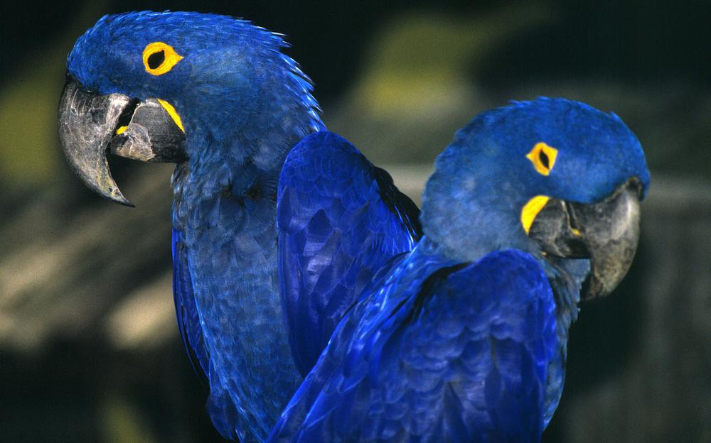 2 Anodorhynchus hyacinthinus Hyacinth macaw - Small_WW210417