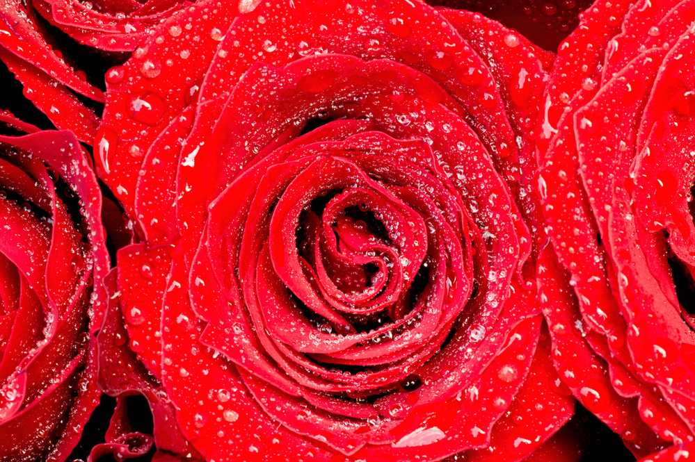 3 Red roses with water drops, close up.© Martin Harvey  WWF Small_WW187672