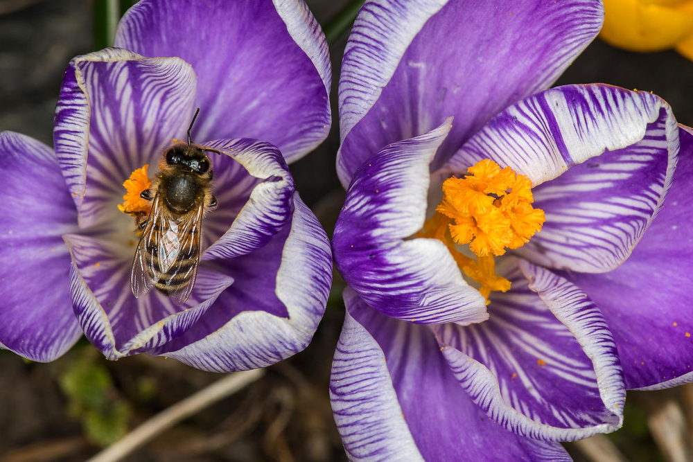 Crocus with visiting honey bee. © Ola Jennersten  WWF-Sweden Small_WW258051