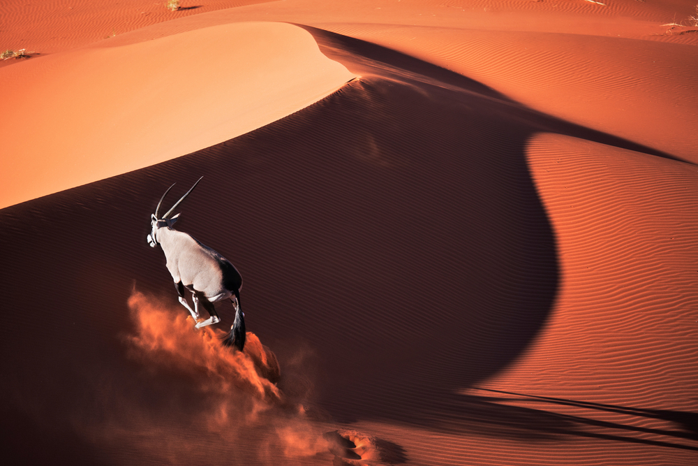 Gemsbok (Oryx gazella) running over sand dune, in typical desert habitat. Dist. South-Western & Northern East Africa. Namib desert, Naukluft National Park, Nam© Martin Harvey  WWF Small_WW188127